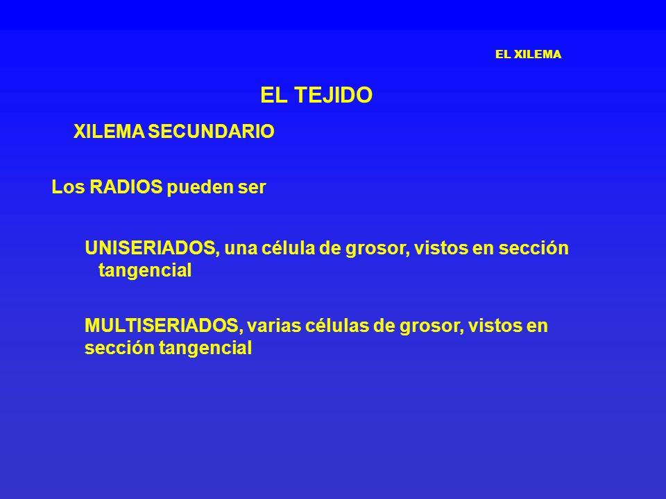 EL TEJIDO XILEMA SECUNDARIO Los RADIOS pueden ser