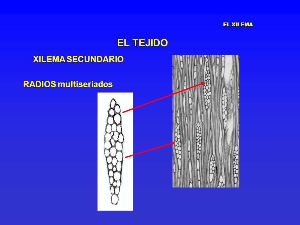 EL XILEMA EL TEJIDO XILEMA SECUNDARIO RADIOS multiseriados