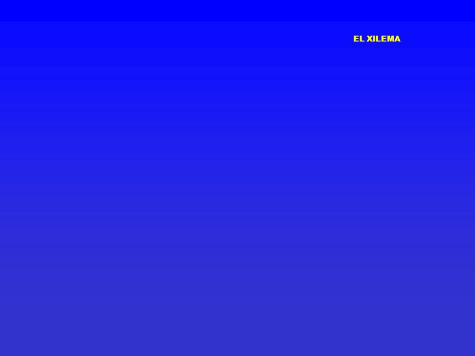 EL XILEMA