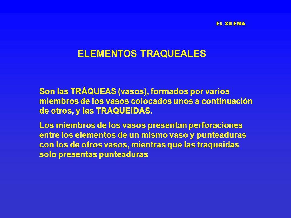 EL XILEMA ELEMENTOS TRAQUEALES.