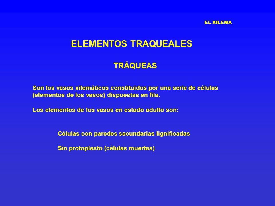ELEMENTOS TRAQUEALES TRÁQUEAS