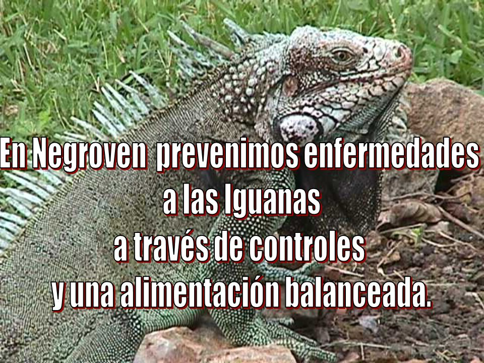 En Negroven prevenimos enfermedades a las Iguanas