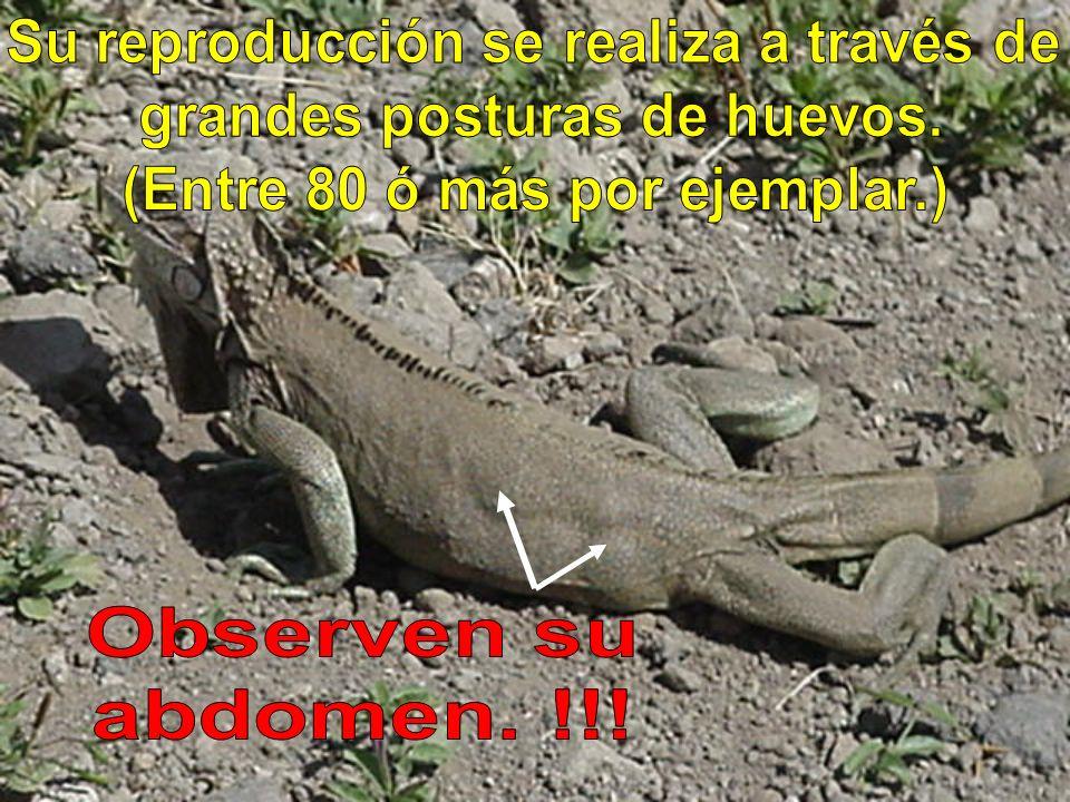 Observen su abdomen. !!! Su reproducción se realiza a través de
