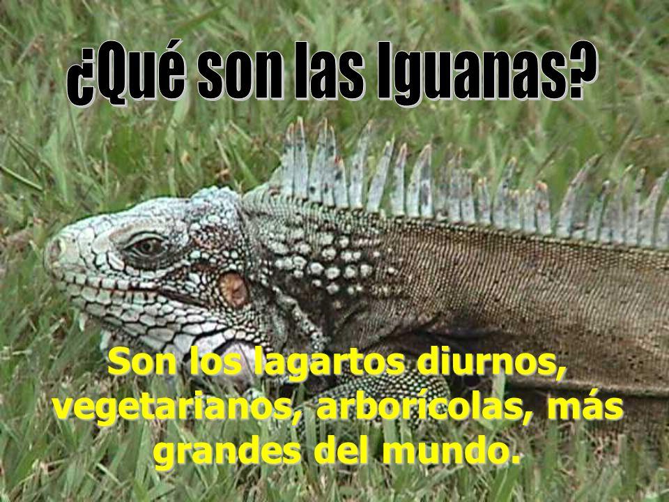 ¿Qué son las Iguanas Son los lagartos diurnos, vegetarianos, arborícolas, más grandes del mundo.