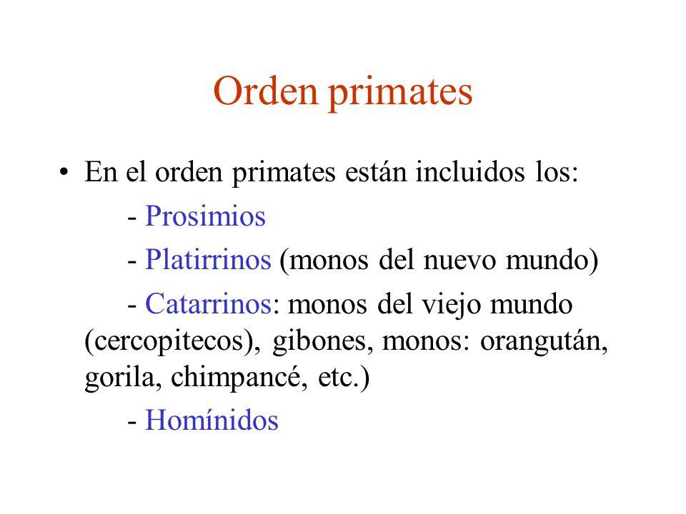 Orden primates En el orden primates están incluidos los: - Prosimios