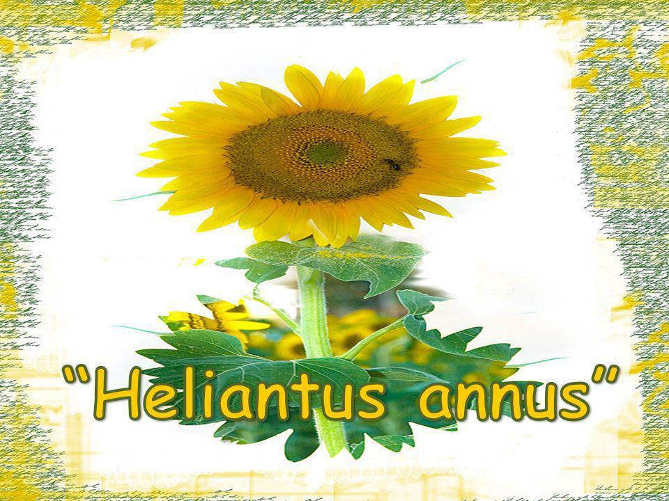 Heliantus annus