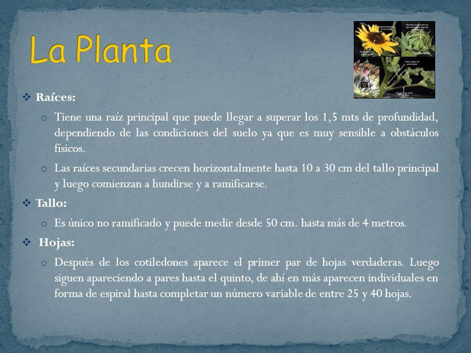 La Planta Raíces: