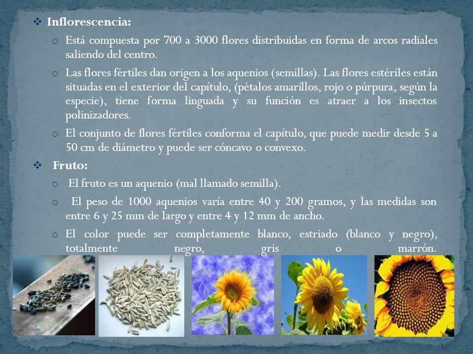 Inflorescencia: Está compuesta por 700 a 3000 flores distribuidas en forma de arcos radiales saliendo del centro.