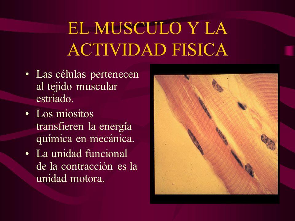 EL MUSCULO Y LA ACTIVIDAD FISICA