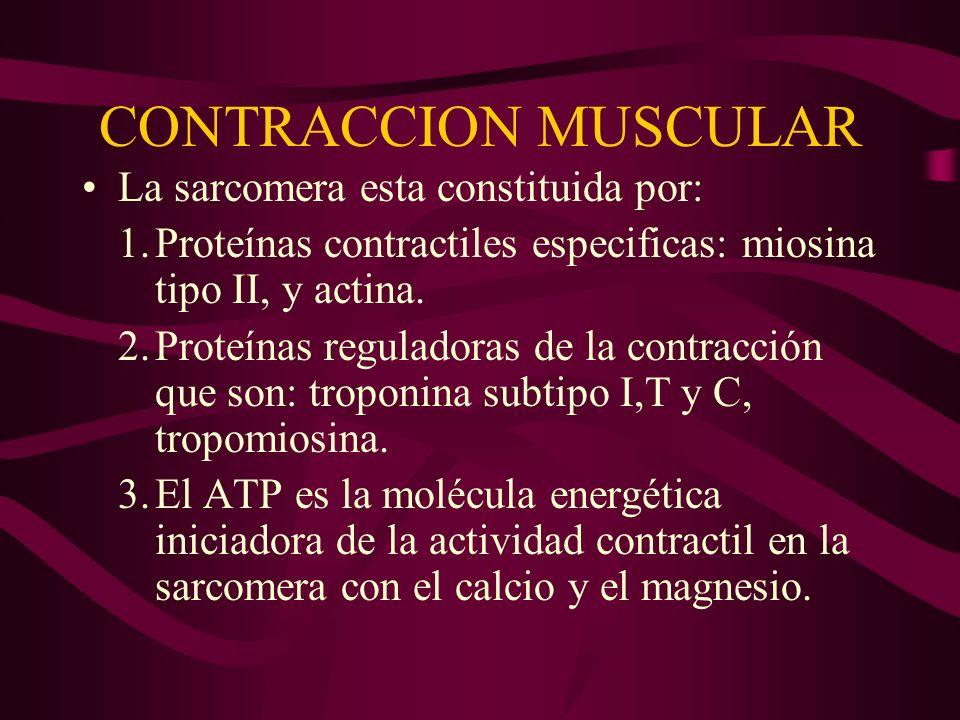 CONTRACCION MUSCULAR La sarcomera esta constituida por: