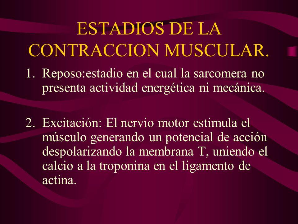 ESTADIOS DE LA CONTRACCION MUSCULAR.