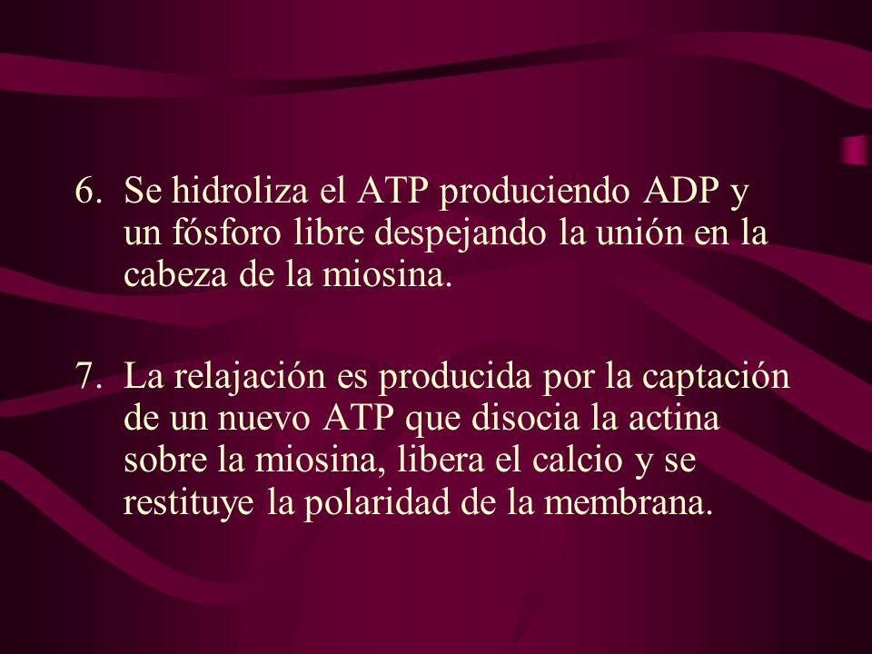 Se hidroliza el ATP produciendo ADP y un fósforo libre despejando la unión en la cabeza de la miosina.