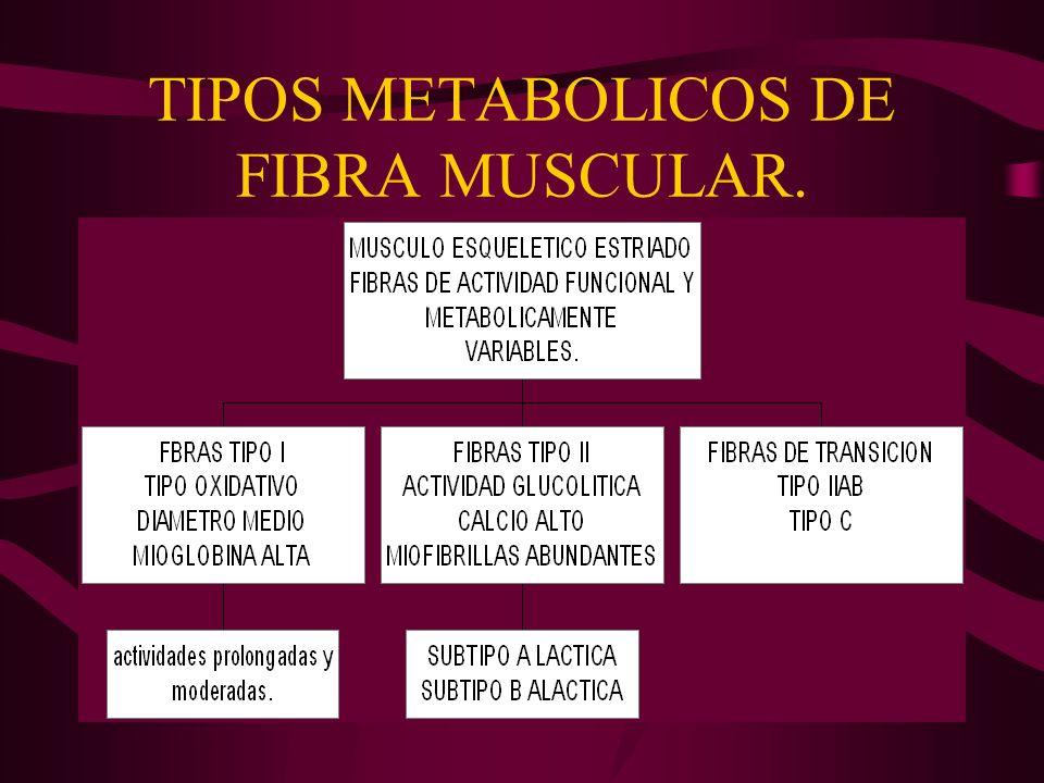 TIPOS METABOLICOS DE FIBRA MUSCULAR.