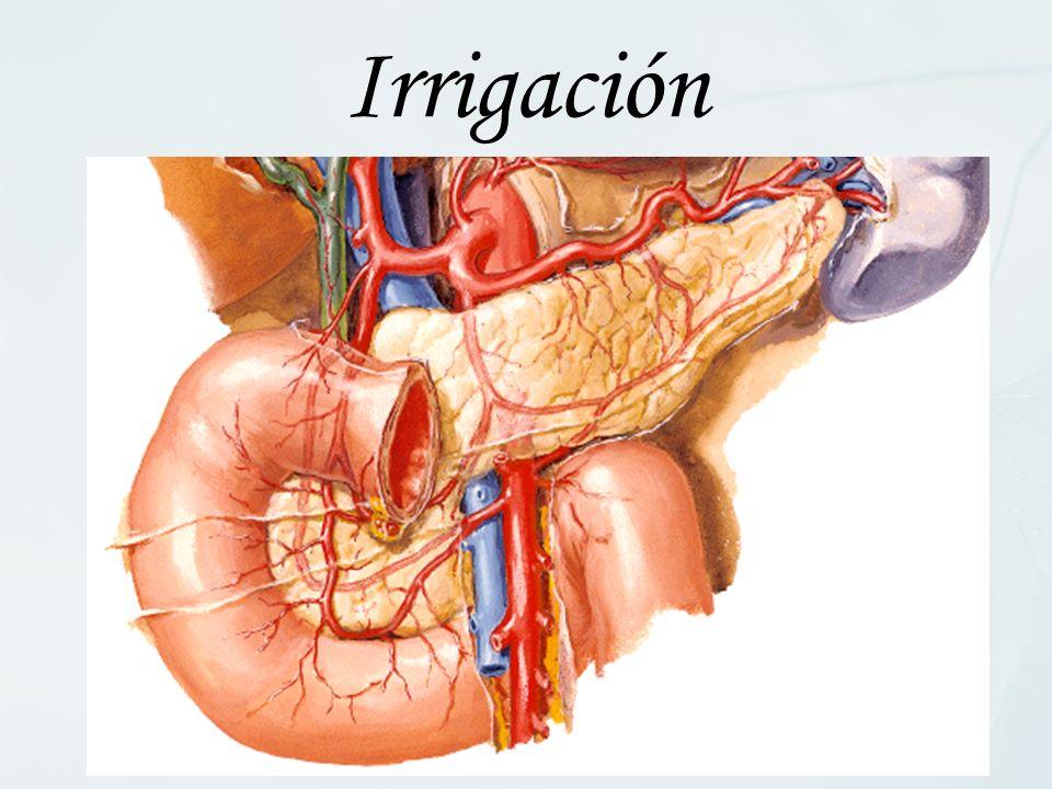 Irrigación En la zona proximal, la sangre proviene del tronco celíaco: A. Gastroduodenal, y de su rama, la A. PancreaticoDuodenal Superior.