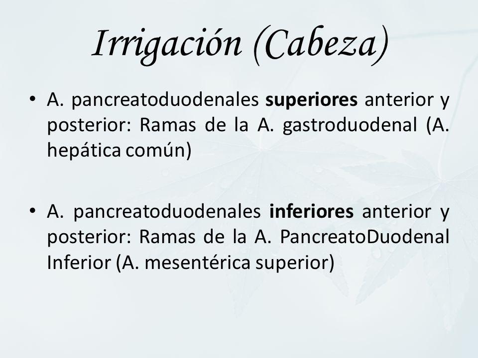 Irrigación (Cabeza) A. pancreatoduodenales superiores anterior y posterior: Ramas de la A. gastroduodenal (A. hepática común)