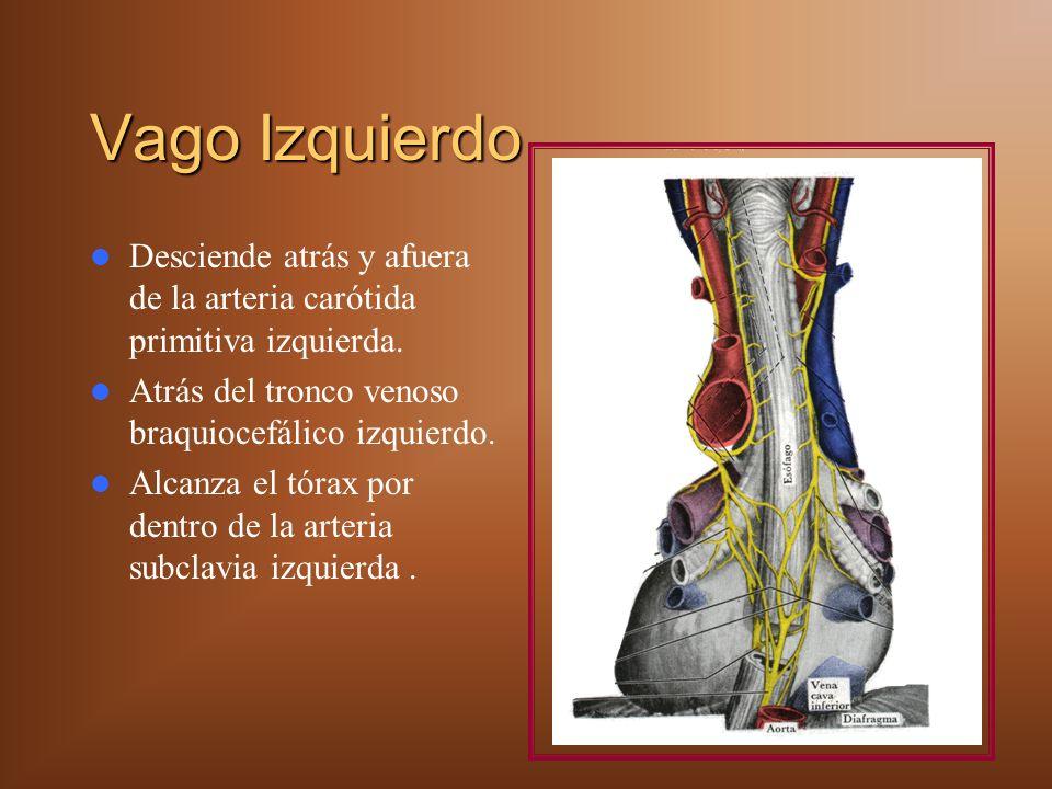 Vago Izquierdo Desciende atrás y afuera de la arteria carótida primitiva izquierda. Atrás del tronco venoso braquiocefálico izquierdo.