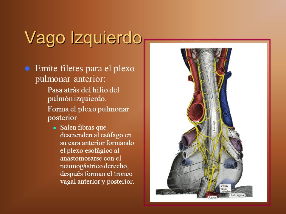 Vago Izquierdo Emite filetes para el plexo pulmonar anterior: