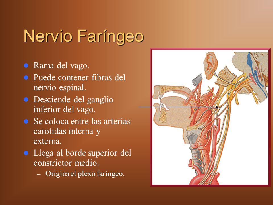 Nervio Faríngeo Rama del vago.