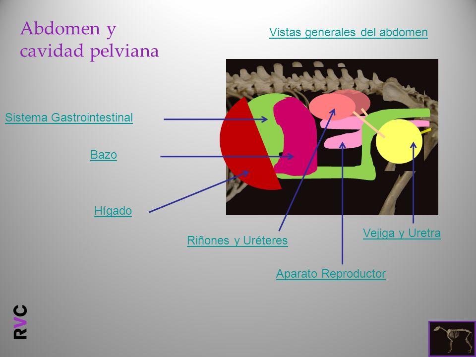 Abdomen y cavidad pelviana
