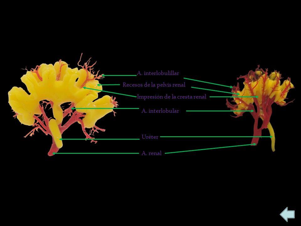 A. interlobulillar Recesos de la pelvis renal. Impresión de la cresta renal. A. interlobular. Uréter.