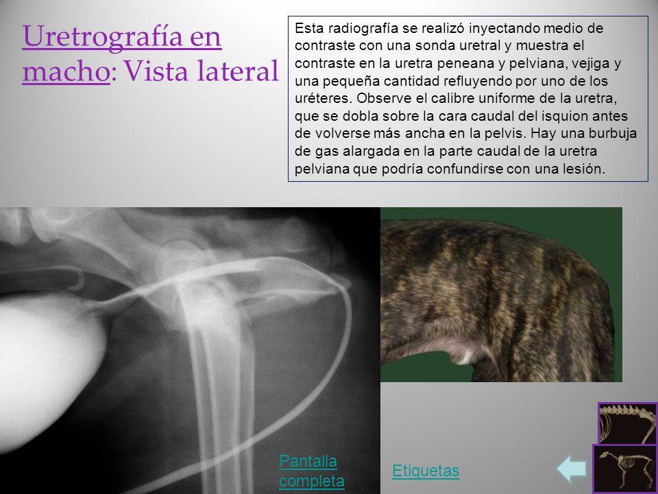 Uretrografía en macho: Vista lateral