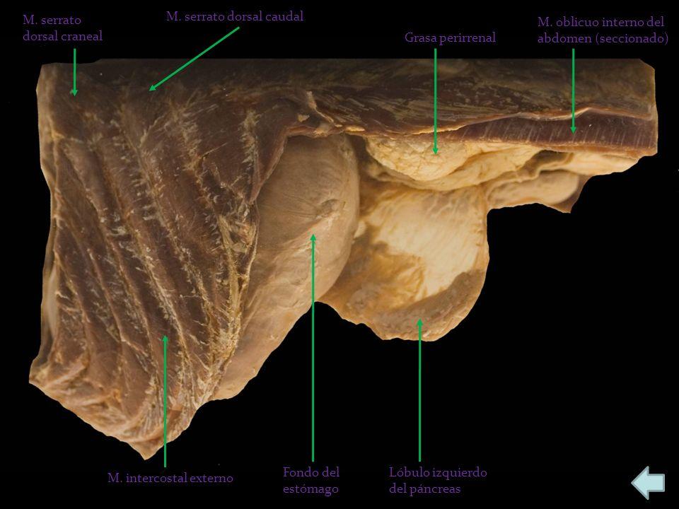 M. serrato dorsal craneal