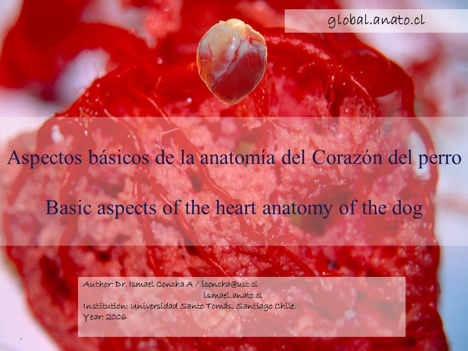 global.anato.cl Aspectos básicos de la anatomía del Corazón del perro Basic aspects of the heart anatomy of the dog.
