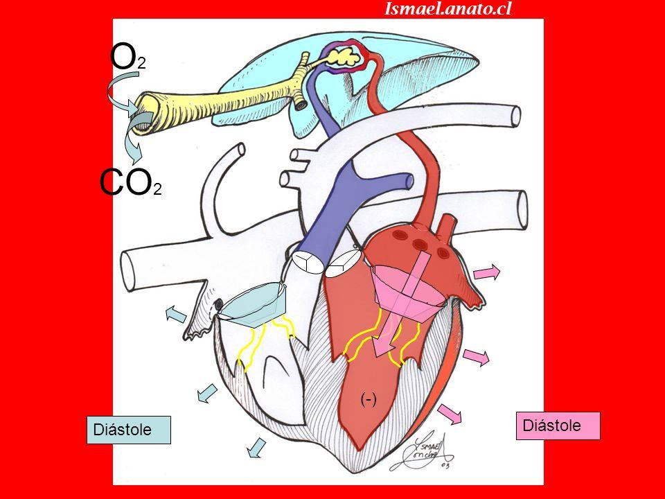 Ismael.anato.cl O2 CO2 (-) Diástole Diástole