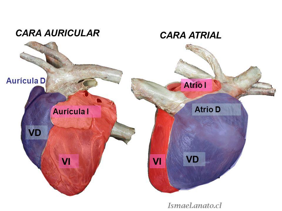 CARA AURICULAR CARA ATRIAL VD VD VI VI Aurícula D Atrio I Atrio D