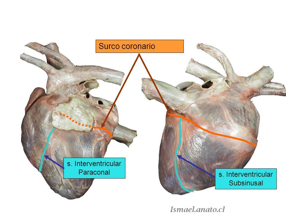 Surco coronario s. Interventricular Paraconal s. Interventricular