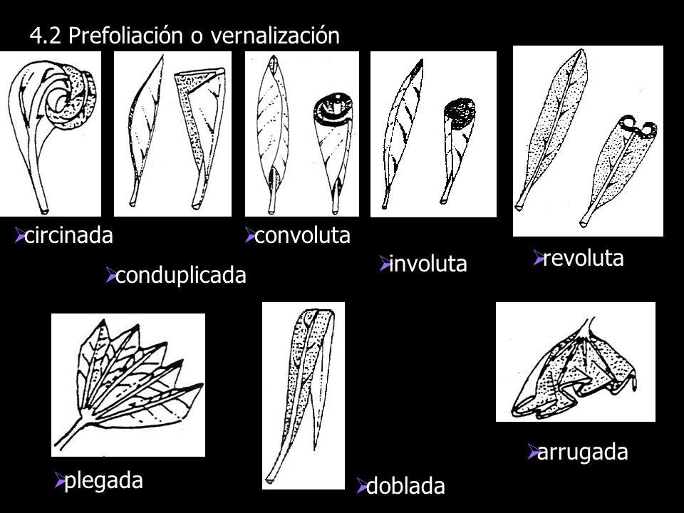 4.2 Prefoliación o vernalización