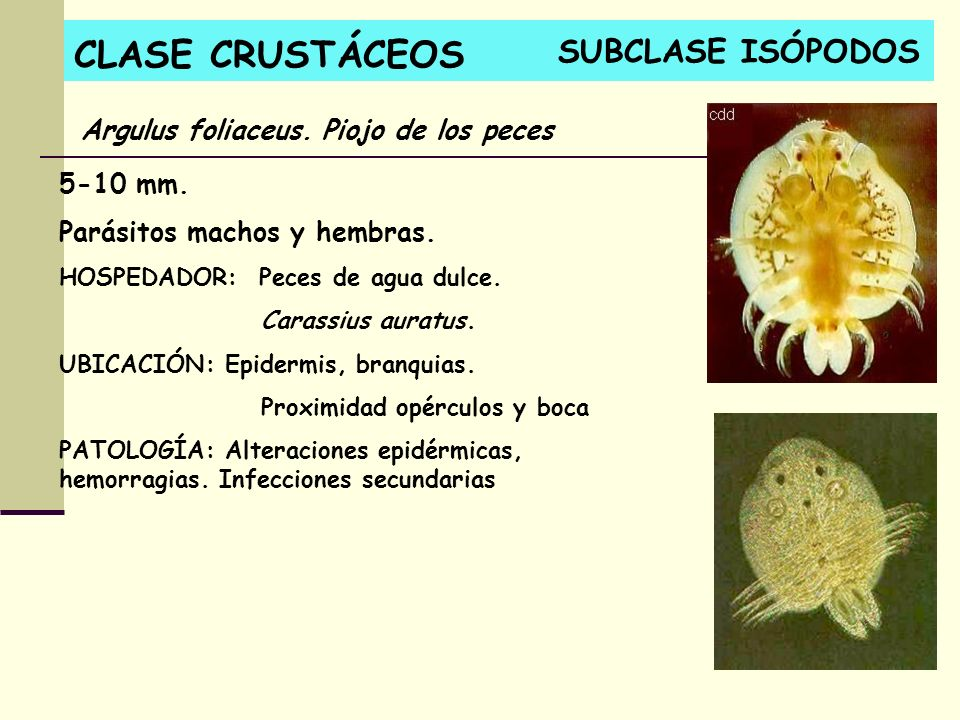 CLASE CRUSTÁCEOS SUBCLASE ISÓPODOS