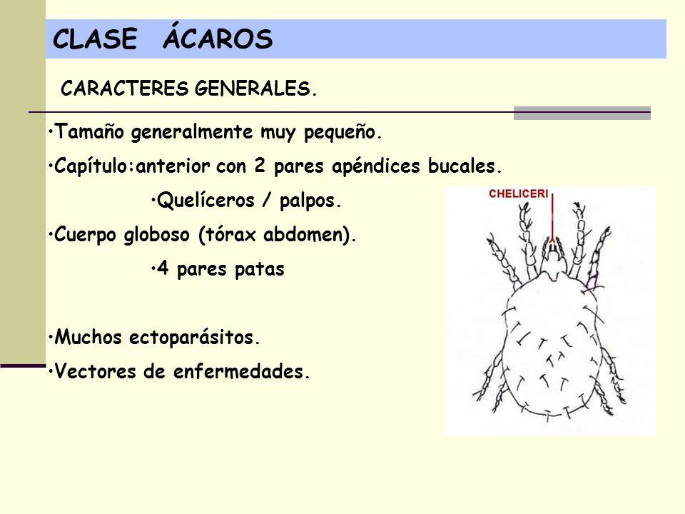 CLASE ÁCAROS CARACTERES GENERALES. Tamaño generalmente muy pequeño.