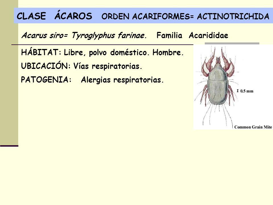 CLASE ÁCAROS ORDEN ACARIFORMES= ACTINOTRICHIDA