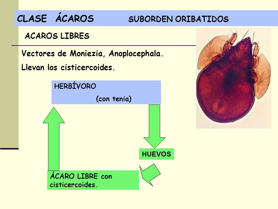 CLASE ÁCAROS SUBORDEN ORIBATIDOS