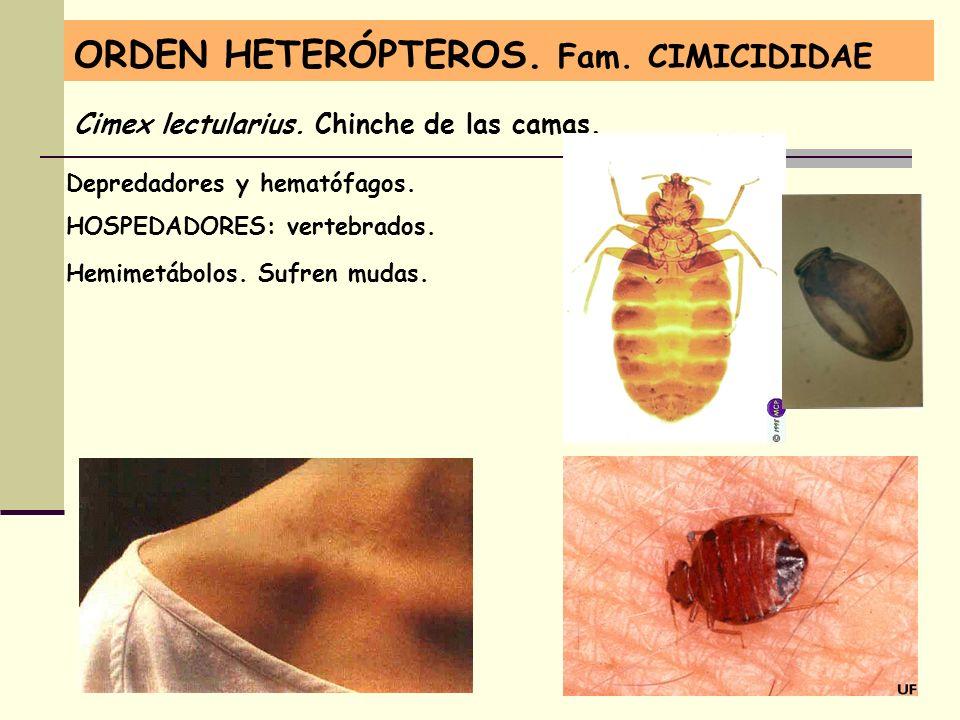 ORDEN HETERÓPTEROS. Fam. CIMICIDIDAE