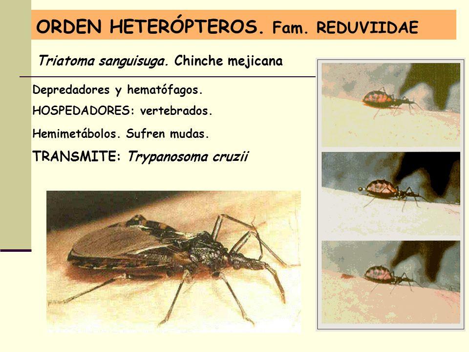 ORDEN HETERÓPTEROS. Fam. REDUVIIDAE