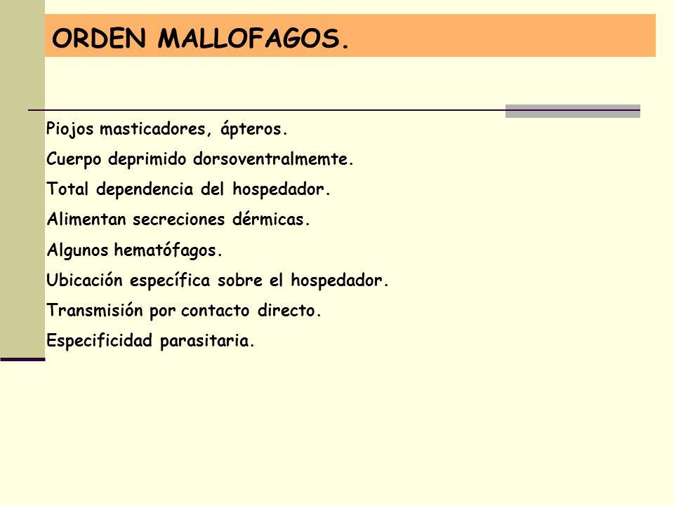 ORDEN MALLOFAGOS. Piojos masticadores, ápteros.