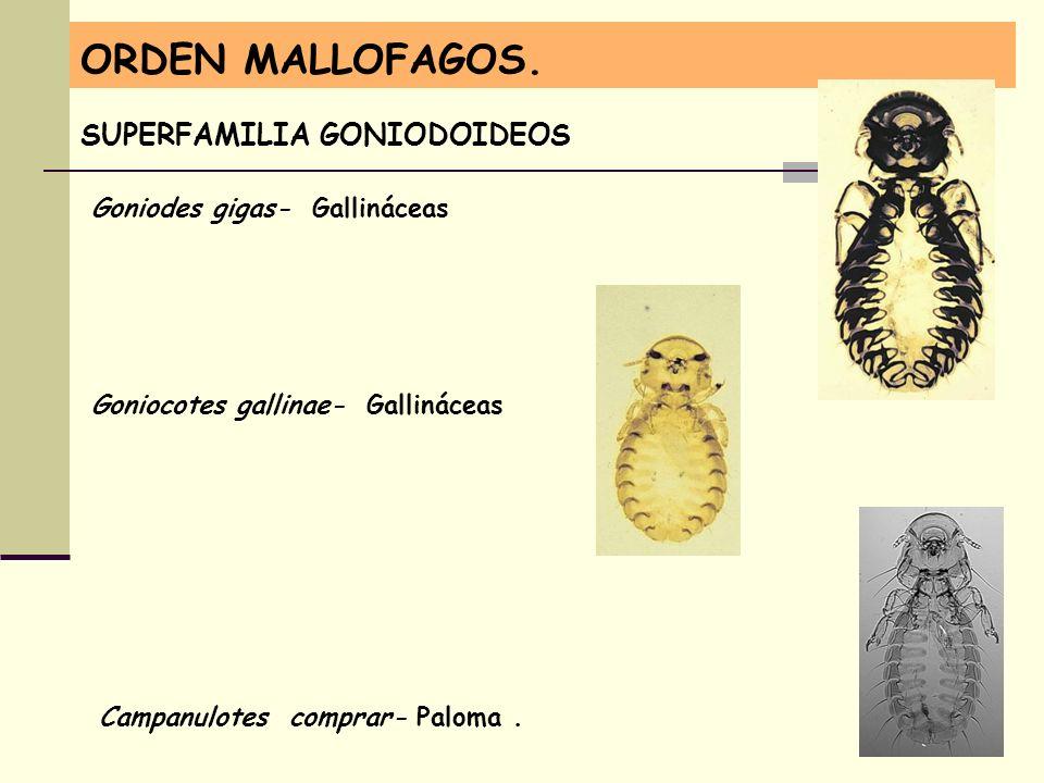 ORDEN MALLOFAGOS. SUPERFAMILIA GONIODOIDEOS