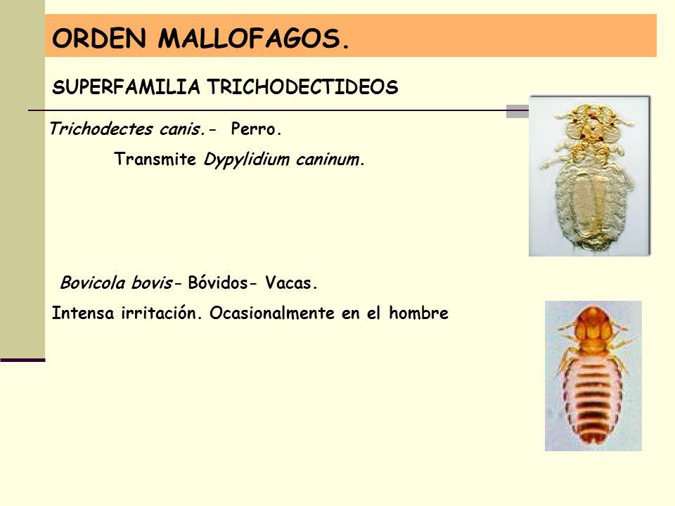 ORDEN MALLOFAGOS. SUPERFAMILIA TRICHODECTIDEOS