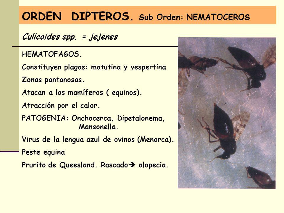 ORDEN DIPTEROS. Sub Orden: NEMATOCEROS