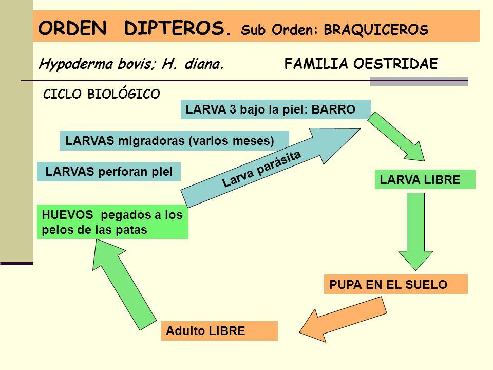 ORDEN DIPTEROS. Sub Orden: BRAQUICEROS