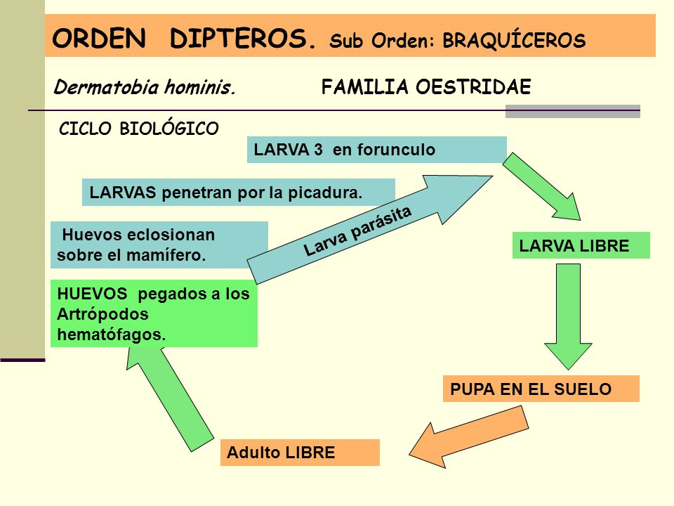 ORDEN DIPTEROS. Sub Orden: BRAQUÍCEROS