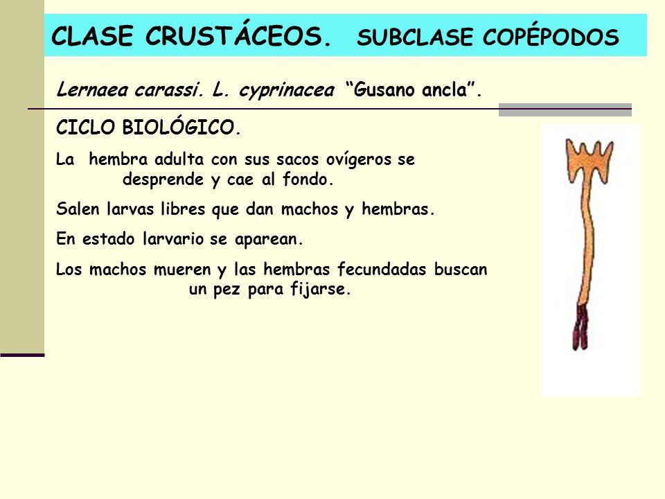 CLASE CRUSTÁCEOS. SUBCLASE COPÉPODOS