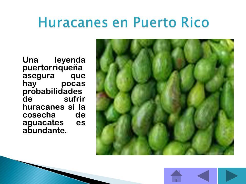 Una leyenda puertorriqueña asegura que hay pocas probabilidades de sufrir huracanes si la cosecha de aguacates es abundante.