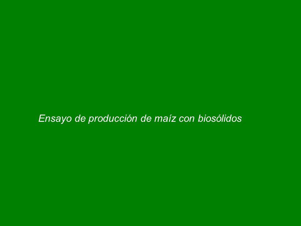 Ensayo de producción de maíz con biosólidos