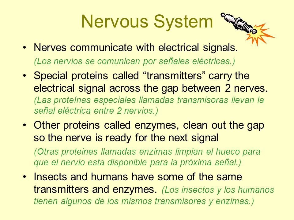 Nervous System Nerves communicate with electrical signals.