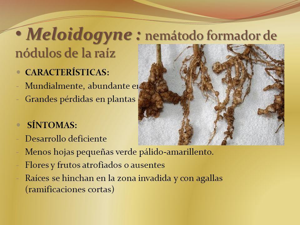 Meloidogyne : nemátodo formador de nódulos de la raíz