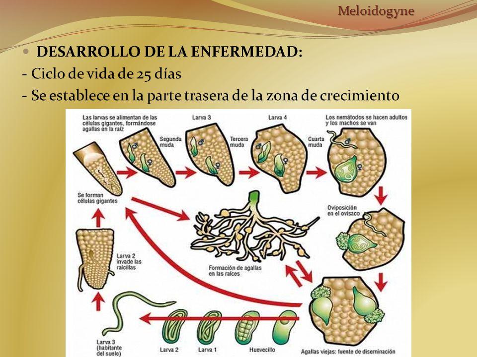 DESARROLLO DE LA ENFERMEDAD: - Ciclo de vida de 25 días