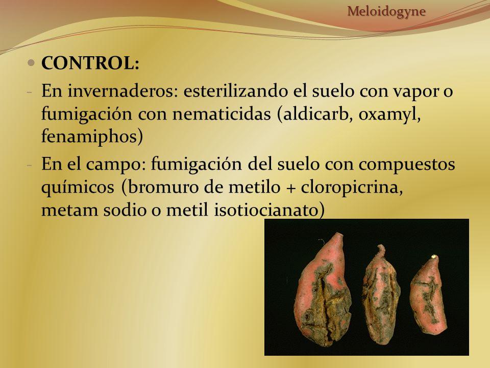 Meloidogyne CONTROL: En invernaderos: esterilizando el suelo con vapor o fumigación con nematicidas (aldicarb, oxamyl, fenamiphos)